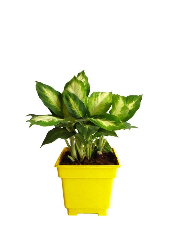 Dieffenbachia Camilla in Yellow Square Colorista Pot