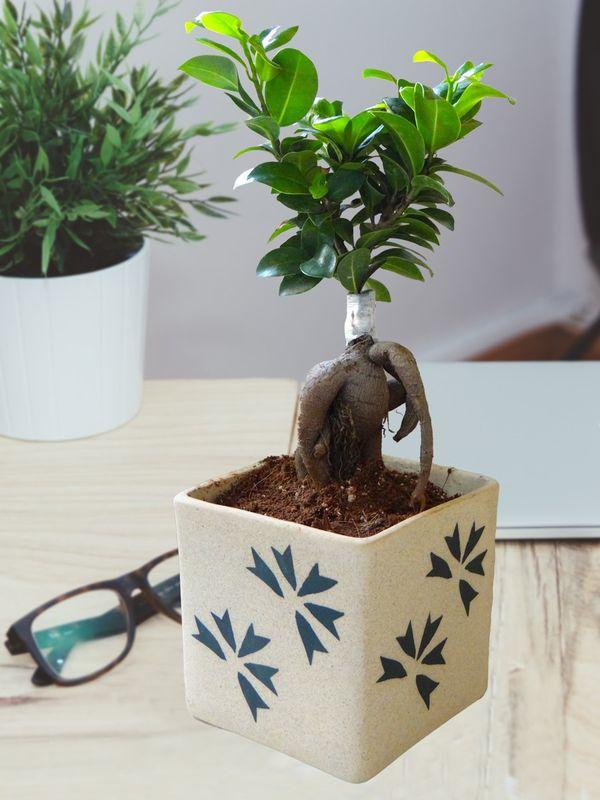 Ficus Bonsai in Square Cream Aroez Ceramic Pot