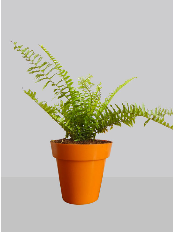 Rolling Nature Air Purifying Golden Fern Plant in Orange Colorista Pot