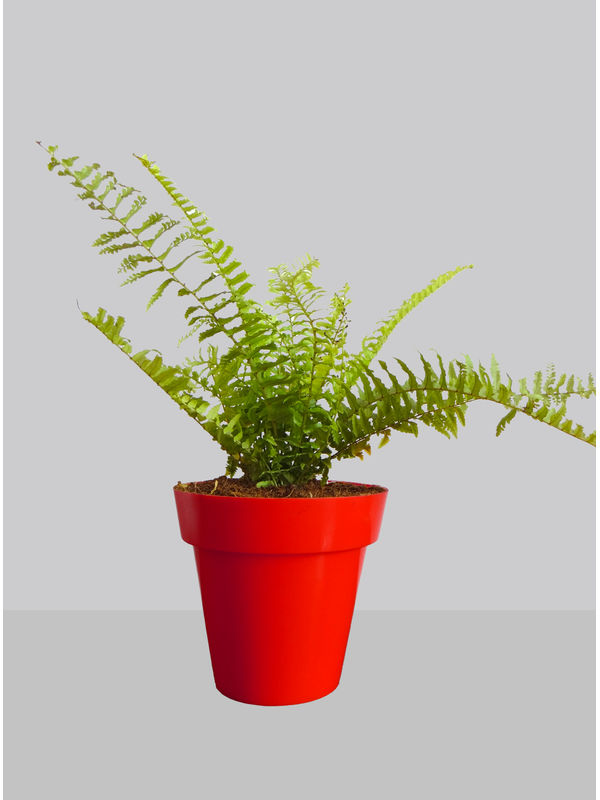 Rolling Nature Air Purifying Golden Fern Plant in Red Colorista Pot