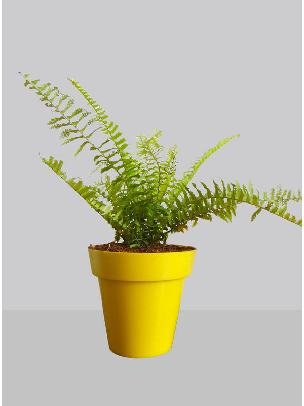 Rolling Nature Air Purifying Golden Fern Plant in Yellow Colorista Pot