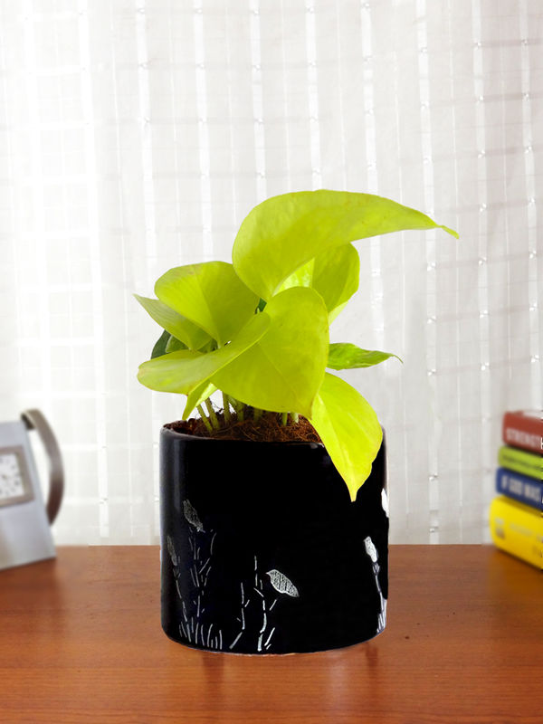 Good Luck Golden Money Plant in Black Barrel Aroez Ceramic Planter