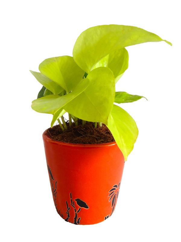 Good Luck Golden Money Plant  in Orange Bucket Aroez Ceramic Pot