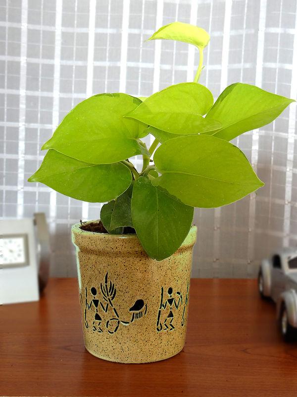 Good Luck Golden Money Plant in Brown Jar Aroez Ceramic Pot