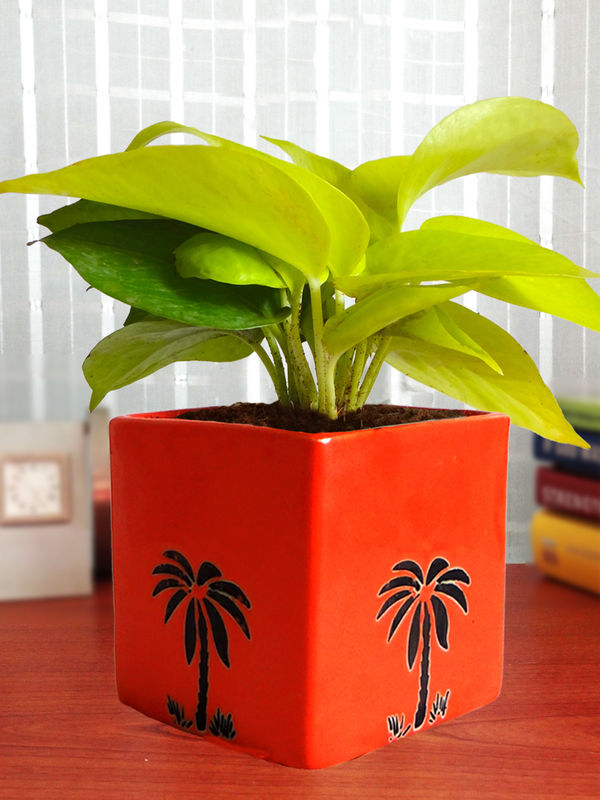 Good Luck Golden Money Plant in Orange Cube Aroez Ceramic Pot