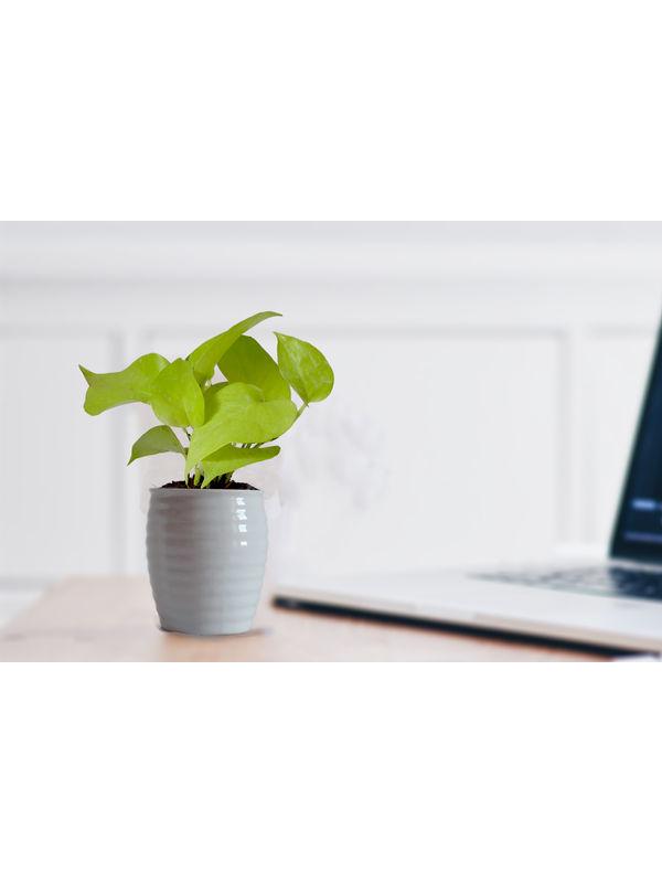 Good Luck Golden Money Plant in White Ceramic Pot