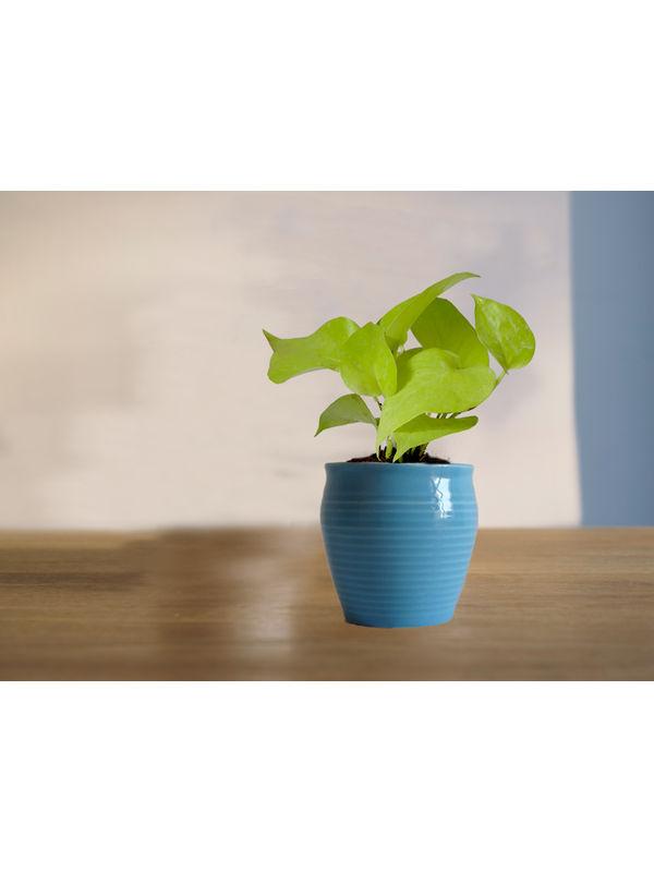 Good Luck Golden Money Plant in Blue Iris Ceramic Pot
