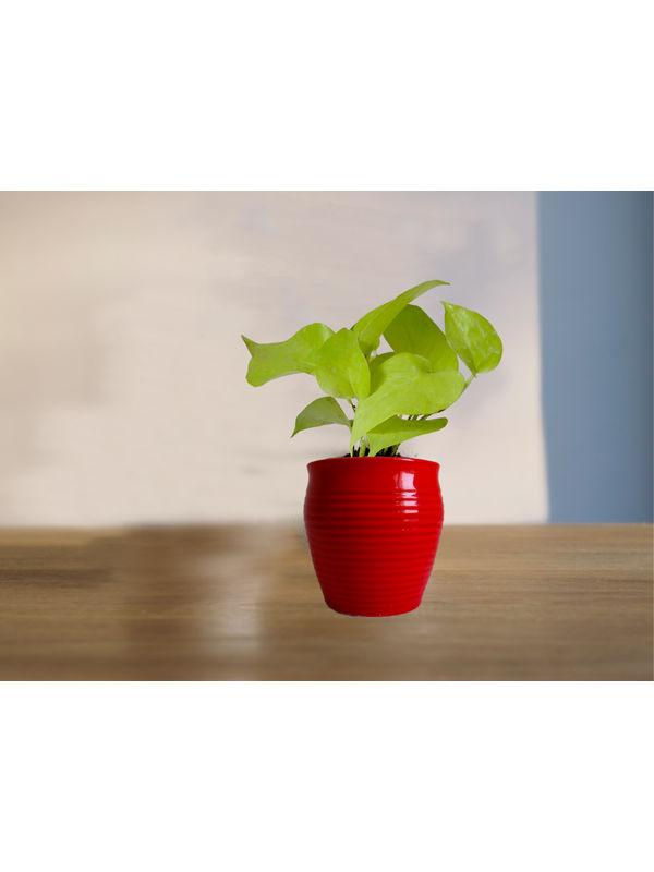 Good Luck Golden Money Plant in (Red or Orange or Brown) Iris Ceramic Pot