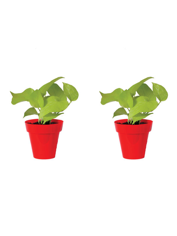 Rolling Nature Combo of Good Luck Golden Money Plant in Small Red Colorista Pot Set of 2