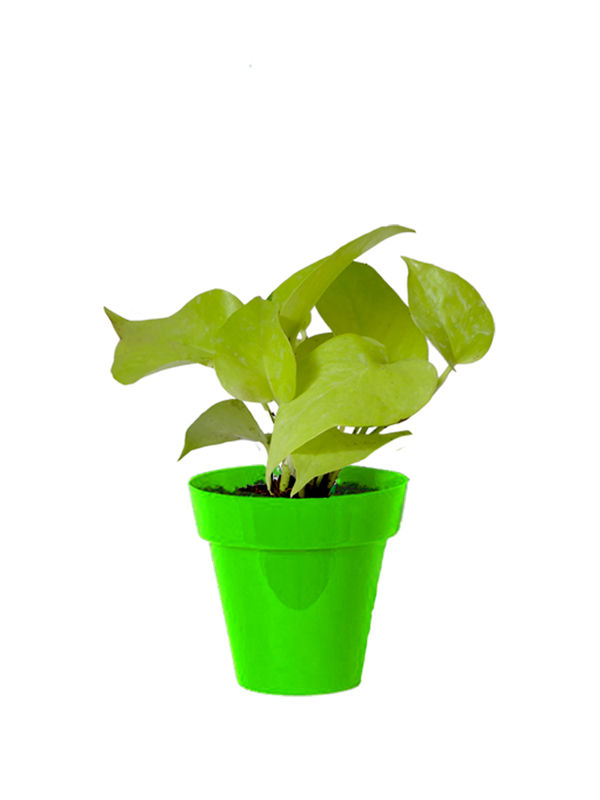 Rolling Nature Good Luck Golden Money Plant in Small Green Colorista Pot