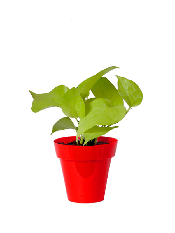 Rolling Nature Good Luck Golden Money Plant in Small Red Colorista Pot