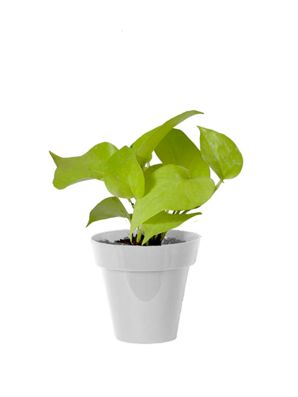 Good Luck Golden Money Plant in Small White Colorista Pot