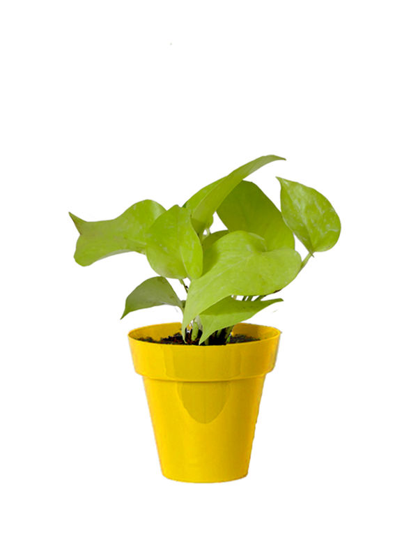Rolling Nature Good Luck Golden Money Plant in Small Yellow Colorista Pot
