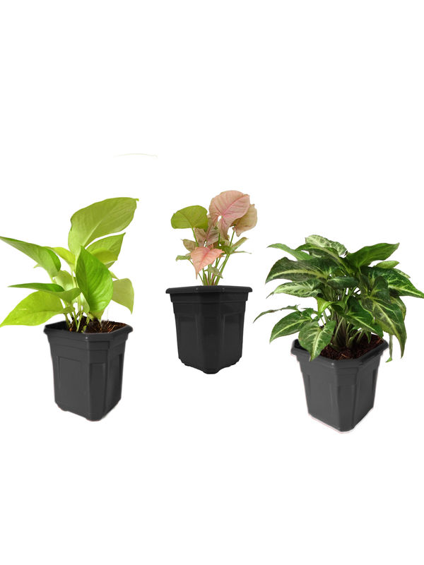 Combo of Good Luck Golden Money Plant, Pink Syngonium and Syngonium Green in Black Hexa Pot