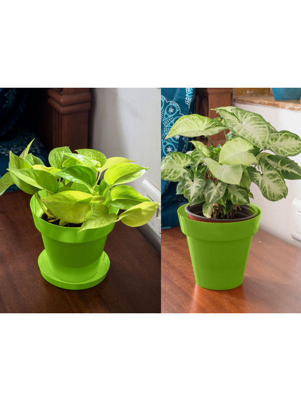 Golden Pothos and Syngonium Air Purifying Plants Combo in Green Colorista Pot