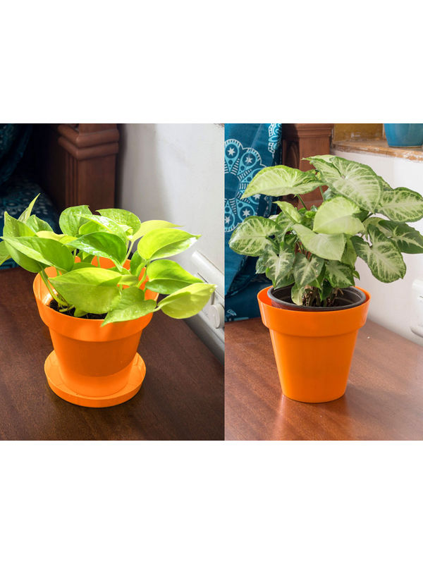 Golden Pothos and Syngonium Air Purifying Plants Combo  in Orange Colorista Pot