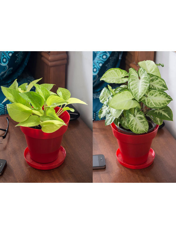 Golden Pothos and Syngonium Air Purifying Plants Combo  in Red Colorista Pot