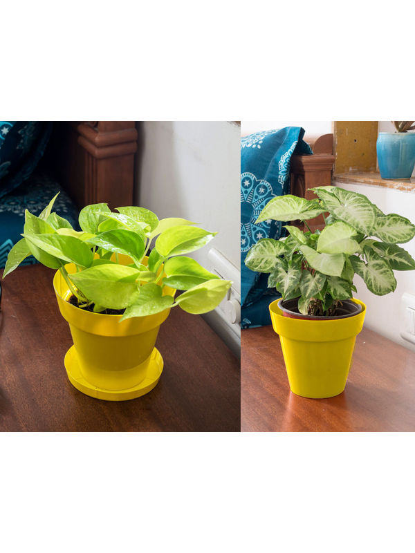 Golden Pothos and Syngonium Air Purifying Plants Combo  in Yellow Colorista Pot