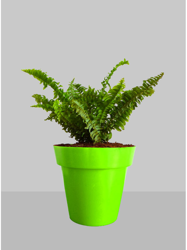 Rolling Nature Air Purifying Golden Fern Plant in Green Colorista Pot