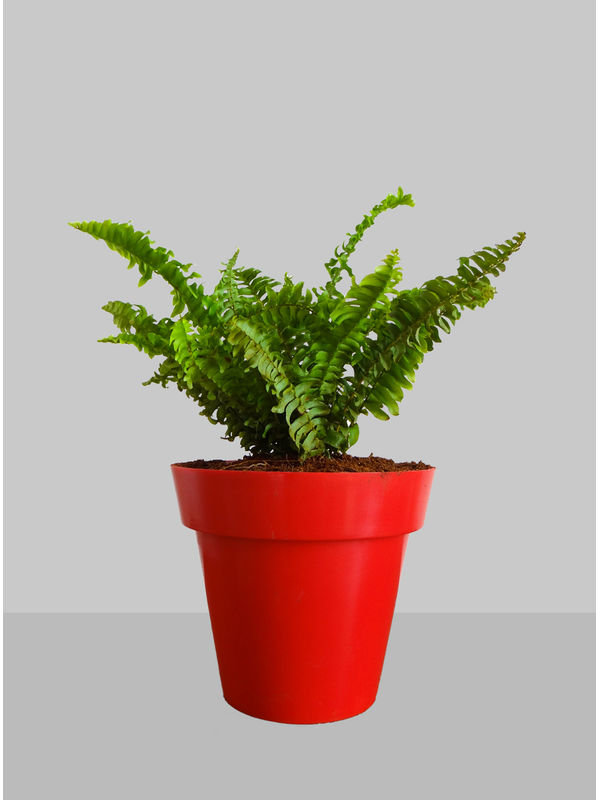 Rolling Nature Air Purifying Green Fern Plant in Red Colorista Pot