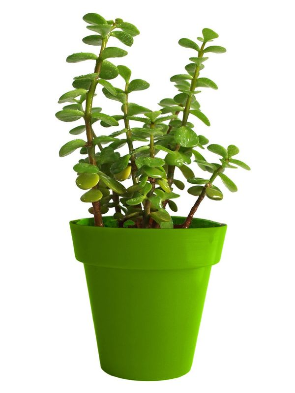 Good Luck Jade Plant in Green Colorista Pot