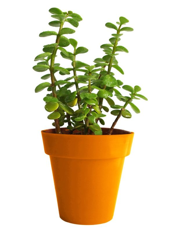 Good Luck Jade Plant in Orange Colorista Pot