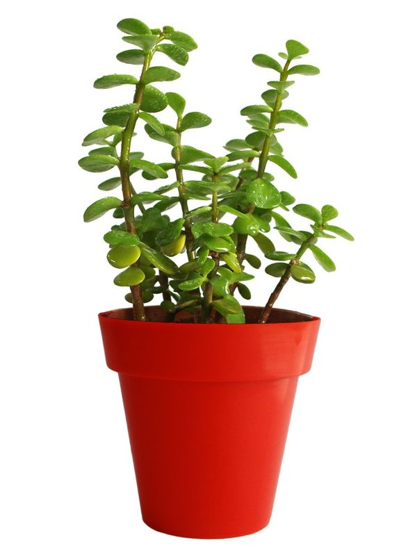 Good Luck Jade Plant in Red Colorista Pot