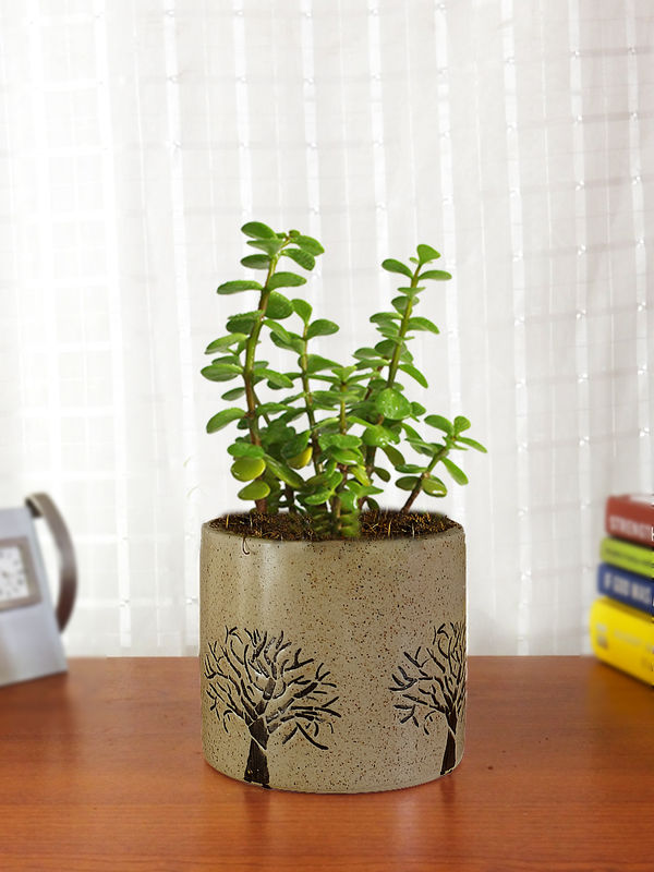 Rolling Nature Good Luck Jade Plant in Brown Barrel Aroez Ceramic Pot