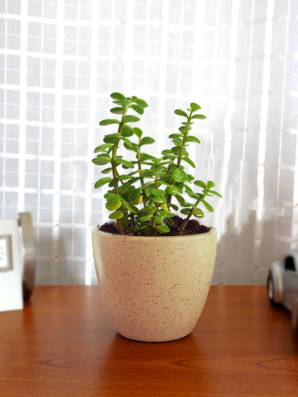 Rolling Nature Good Luck Jade Plant in Brown Round Dew Ceramic Pot