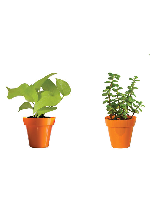Rolling Nature Combo of Good Luck Golden Money Plant and Jade Plant  in Small Orange Colorista Pot