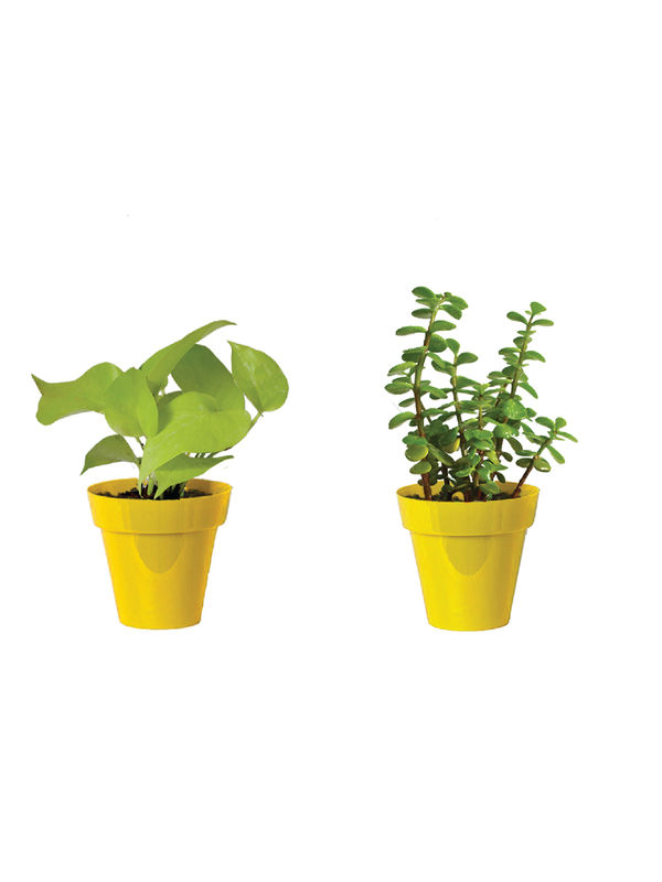 Rolling Nature Combo of Good Luck Golden Money Plant and Jade Plant  in Small Yellow Colorista Pot