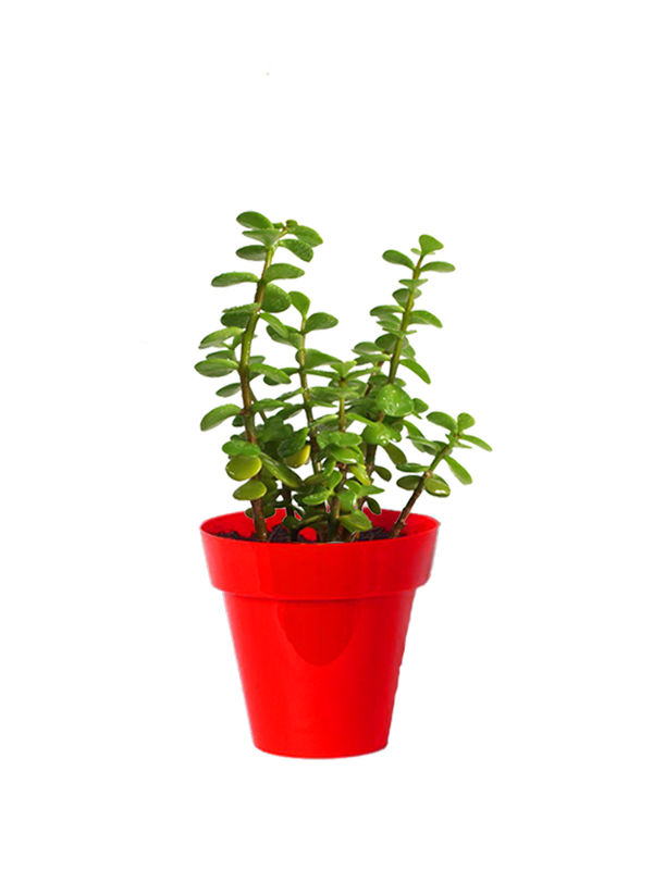 Rolling Nature Good Luck Jade Plant in Small Red Colorista Pot