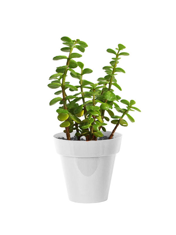 Good Luck Jade Plant in Small White Colorista Pot