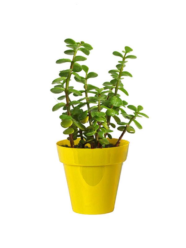 Rolling Nature Good Luck Jade Plant in Small Yellow Colorista Pot