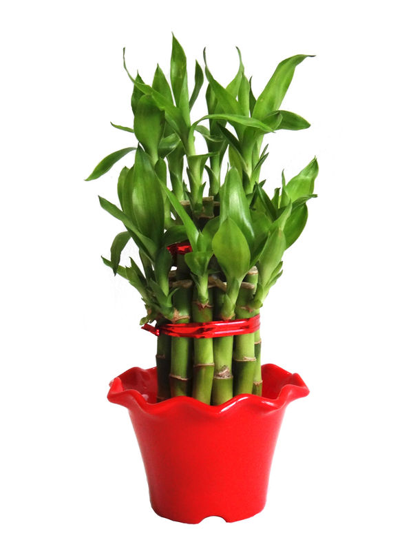 2 Layer Long Stalks Lucky Bamboo in Red Blossom Pot