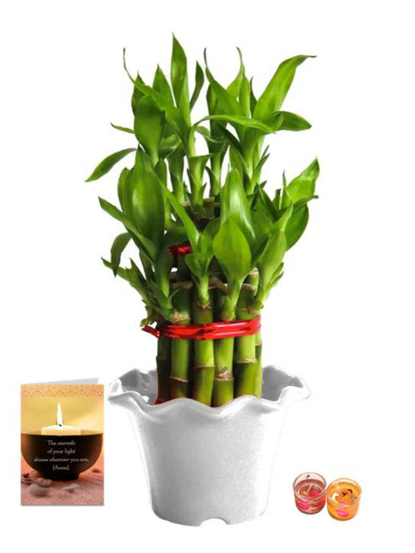 2 Layer Lucky Bamboo in White Blossom Pot with Candle Combo