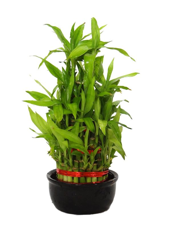 Lucky Bamboo 4 Layer in Ceramic Bowl