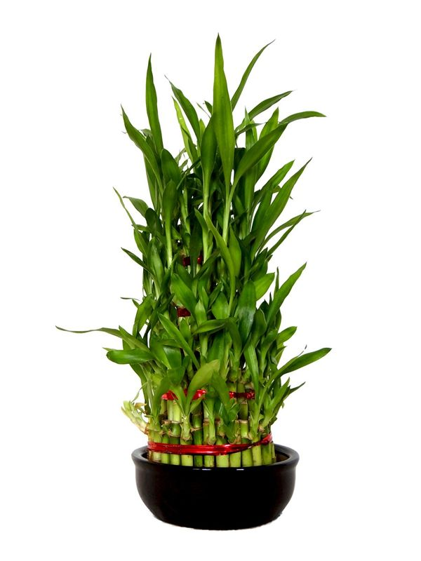 Lucky Bamboo 5 Layer in Ceramic Bowl