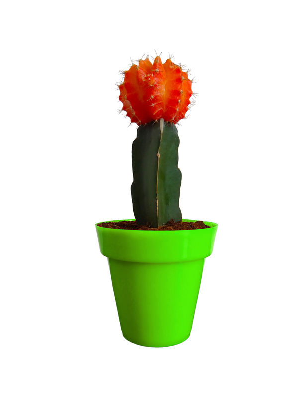 Rolling Nature Orange Moon Cactus Plant in Green Colorista Pot