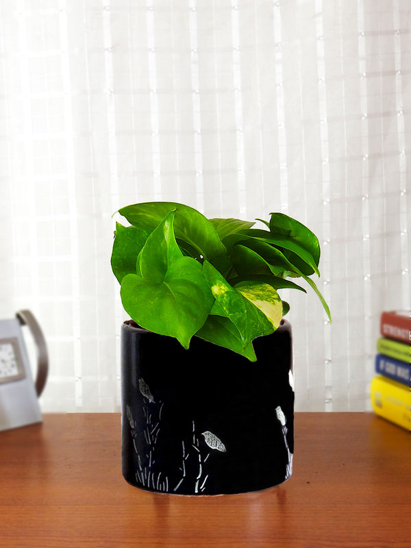 Good Luck Money Plant in Black Barrel Aroez Ceramic Planter