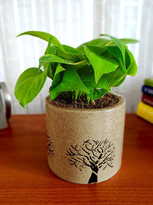 Good Luck Money Plant in Brown Barrel Aroez Ceramic Pot