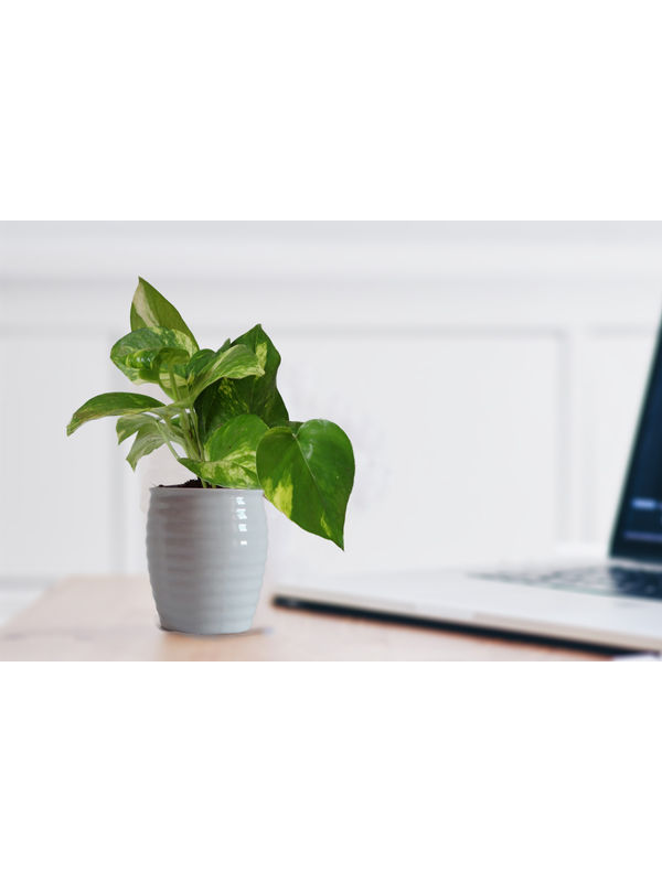 Good Luck Money Plant in White Ceramic Pot