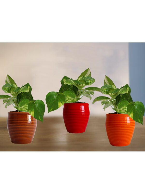 Combo of Good Luck Money Plant in Red, Orange and Brown Iris Ceramic Pot