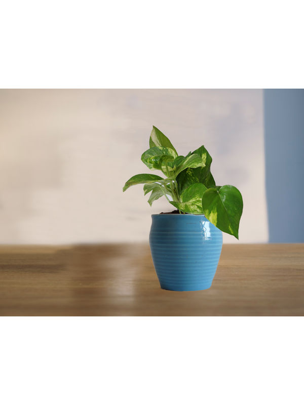 Good Luck Money Plant in Blue Iris Ceramic Pot
