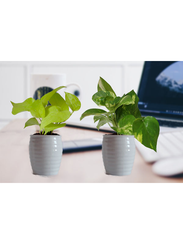 Combo of Good Luck Money Plant and Golden Pothos in White Ceramic Pot