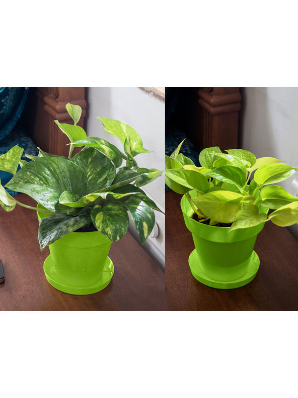 Money Plant and Golden Pothos Air Purifying Plants Combo  in Green Colorista Pot