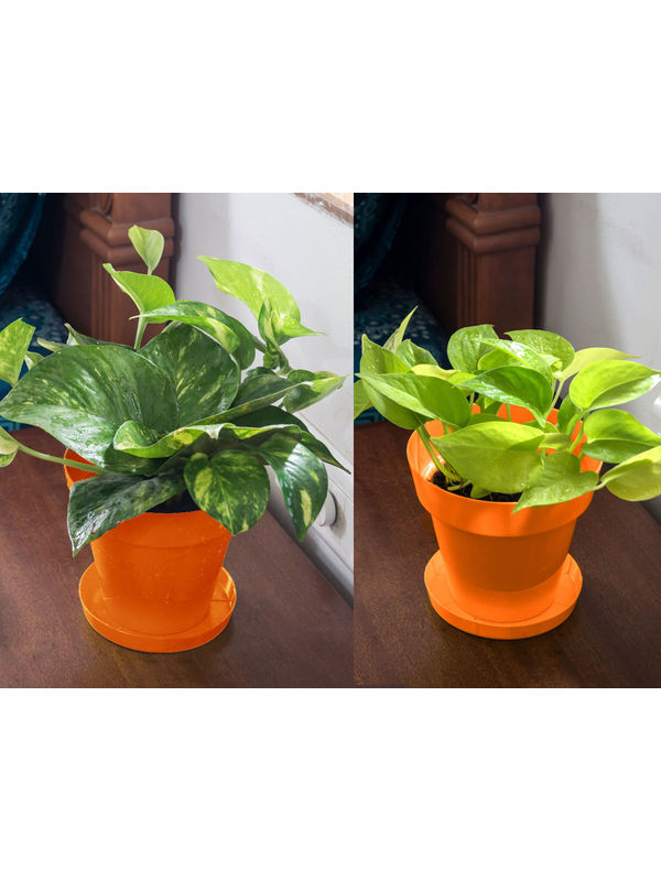 Money Plant and Golden Pothos Air Purifying Plants Combo  in Orange Colorista Pot