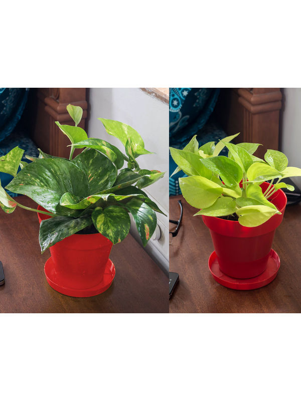 Money Plant and Golden Pothos Air Purifying Plants Combo  in Red Colorista Pot