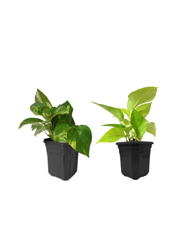 Money Plant and Golden Pothos Combo of Good Luck Plants In Black Hexa Pot