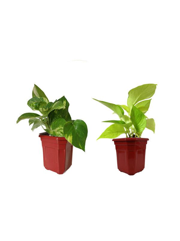 Money Plant and Golden Pothos Combo of Good Luck Plants In Maroon Hexa Pot